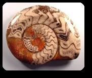 Vign_Ammonite